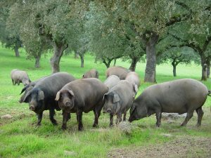 иберийская свинья