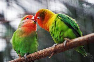 два зелёных попугая целуются