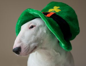 белый питбуль в зелёной шапке