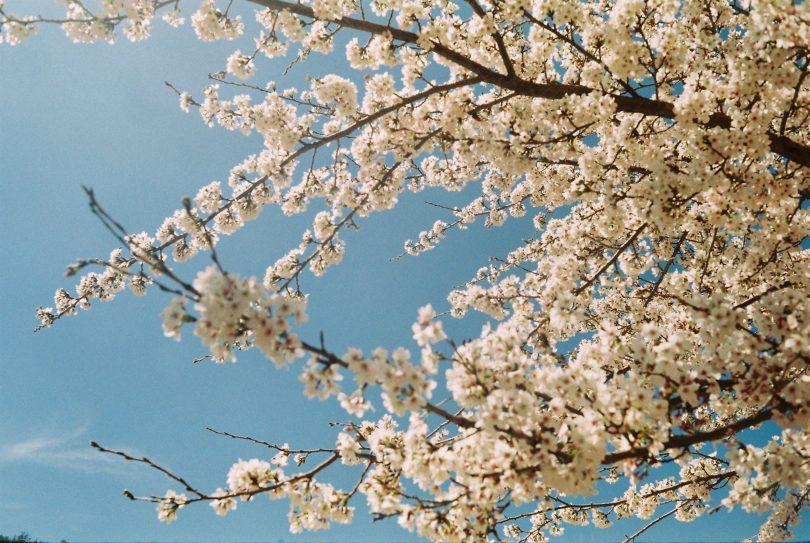 ветки вишневого дерева