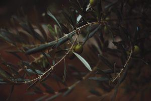 ветка оливкового дерева