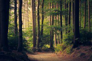 высокие деревья в лесу