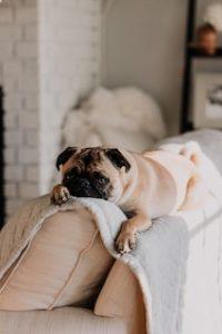 мопс лежит на спинке дивана